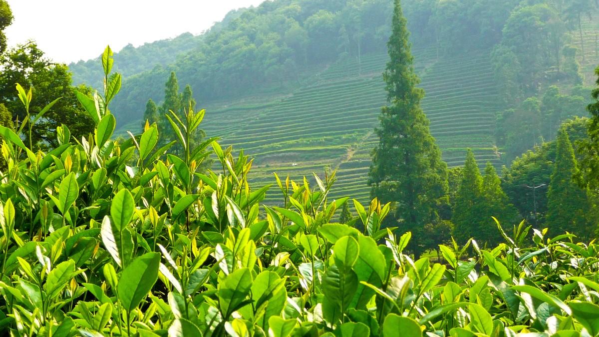 field of tea