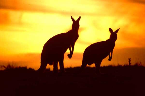 kangaroos-in-Australia